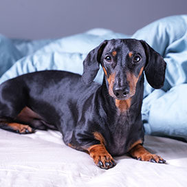 cute little dachshund dog, black and tan, lying on bed